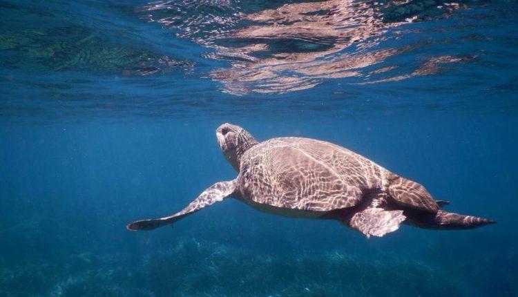 Θαλάσσια χελώνα στον κόλπο Καψαλίου / Sea turtle in Kapsali bay